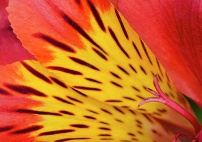 Peruvian Lily Abstract Poster