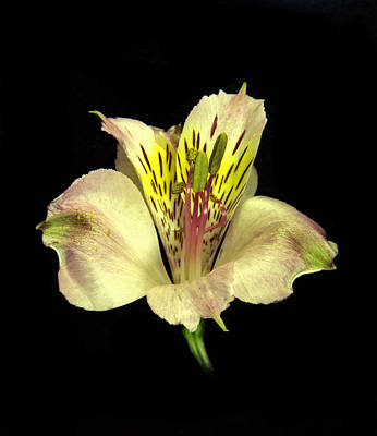 Peruvian Lily. Poster