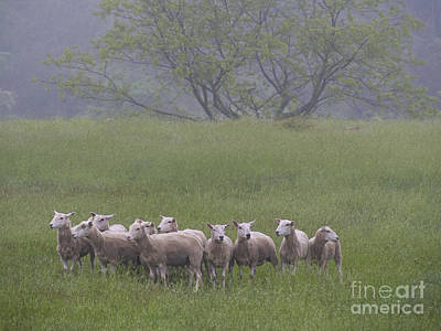 Peterson Farm Sheep 052313 Poster by Gene  Marchand