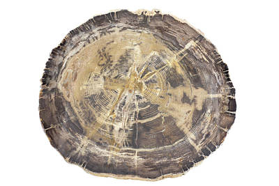 Petrified Hickory Tree Trunk Section Poster by Science Stock Photography
