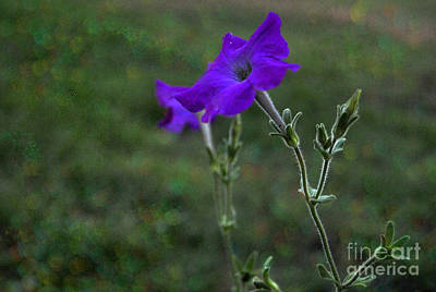 Purple Petunia Botanical Study Poster