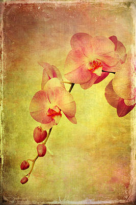 Phalaenopsis Moth Orchid Poster