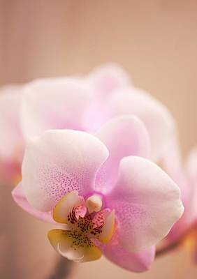 Phalaenopsis 'nobby's Army' Flowers Poster by Maria Mosolova