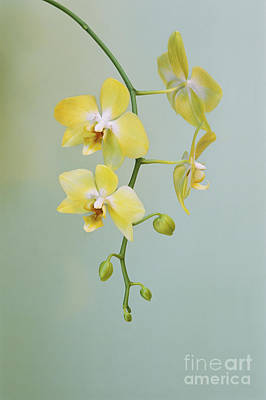 Phalaenopsis Orchid Poster by Frans Lanting MINT Images