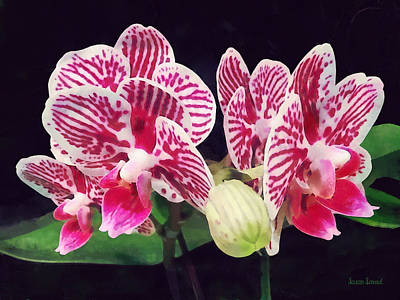 Phalaenopsis Orchid Taida Little Zebra  Poster by Susan Savad