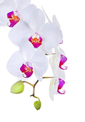 Phalaenopsis Orchids Against White Background Poster by Robert Jensen
