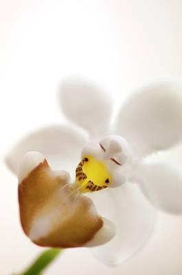 Phalaenopsis Parishii Var. Lobii Flower Poster by Maria Mosolova