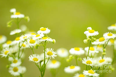Philadelphia Fleabane Wildflowers In Soft Focus Poster
