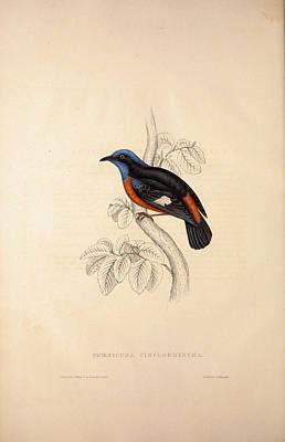 Phoenicura Cinclorhyncha, Actually Petrocincla Poster