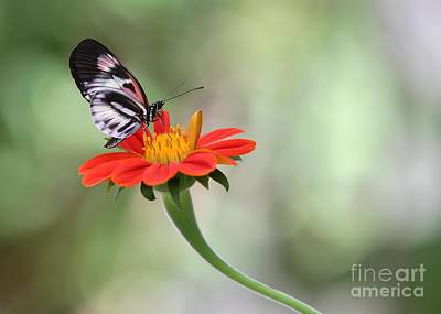 Piano Wings Butterfly Poster