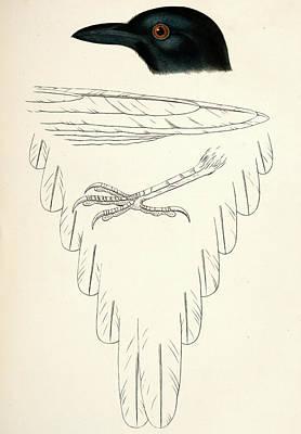 Pica Hudsonica, Black-billed Magpie., Suckley Poster by Artokoloro