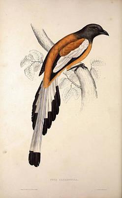 Pica Vagabunda. Birds From The Himalaya Mountains Poster