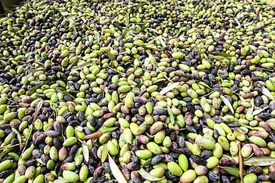 Picking Olives Poster