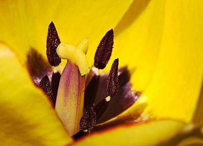 Picotee Yellow Tulip Macro Close Up Poster by Mr Bennett Kent