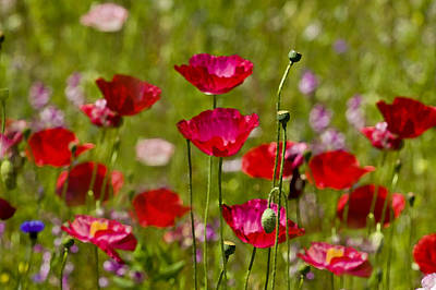 Picture Perfect Poppies Poster by Rich Franco