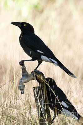 Pied Currawongs Poster by William H. Mullins