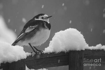 Pied Wagtail In The Snow Poster