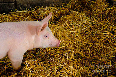 Pig Standing In Hay Poster