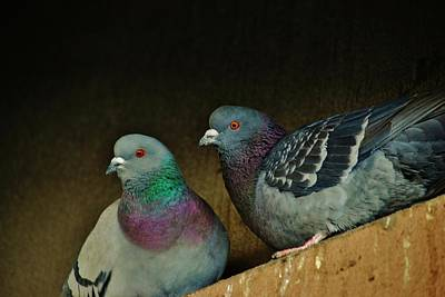 Pigeon Couple Poster