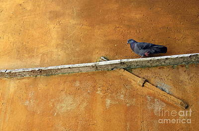 Pigeon On Ochre Wall Poster by Sami Sarkis