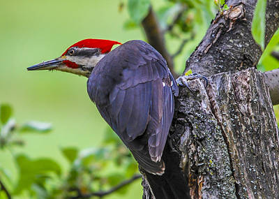 Pileated Stare Poster