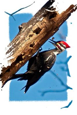 Pileated Woodpecker Poster by Robert L Jackson