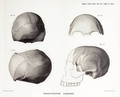 Piltdown Man Skull Poster by Paul D Stewart