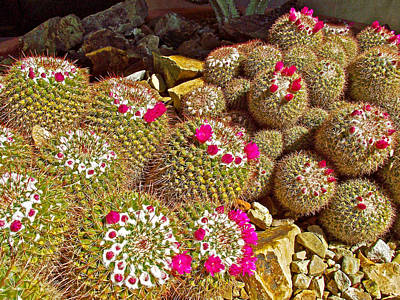 Pincushion Cactus In Tucson Desert Museum-arizona Poster by Ruth Hager