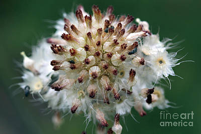 Pincushion Daisy Going To Seed Poster