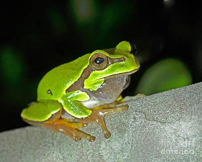 Pine Barrens Tree Frog Hyla Andersonii Poster by John Serrao