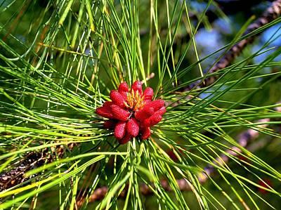 Pine Bud Poster