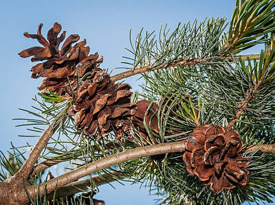 Pine Cones Poster by Len Romanick