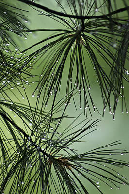 Pine Droplets Poster by Judy  Johnson