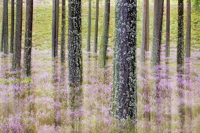 Pine Forest And Heather Cairngorms Np Poster