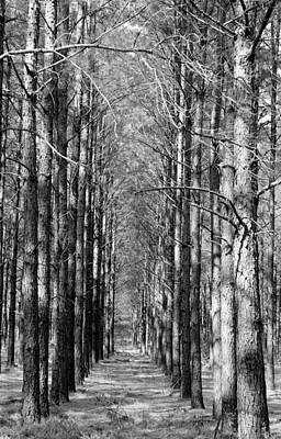 Pine Plantation Poster