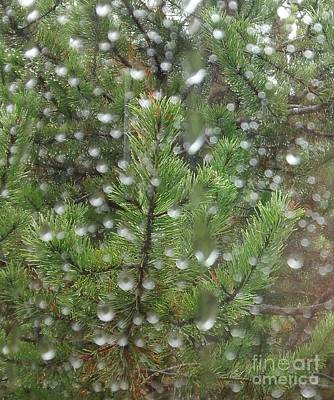 Pine Tree In The Rain Poster