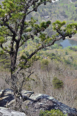 Pine Tree On A Mountain Poster by Susan Leggett