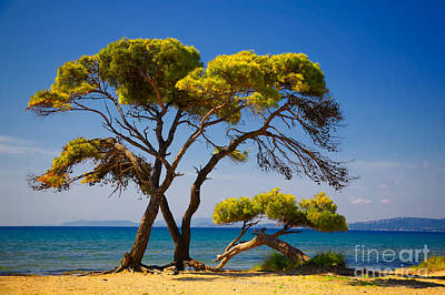 Pine Trees By The Beach Poster