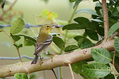 Pine Warbler With Lunch Poster