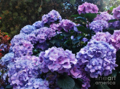 Pink And Mauve Hydrangeas Poster by Kaye Menner
