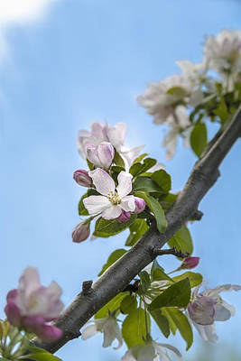 Pink And White Crabapple Flowers Poster by Laura Berman