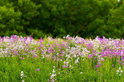 Pink And White Fireweed Flowers Poster by Panoramic Images