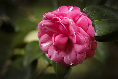 Poster featuring the photograph Pink And White Stripped Camellia by Penny Lisowski