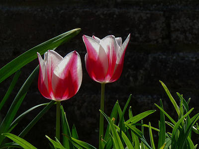 Pink And White Tulip Poster