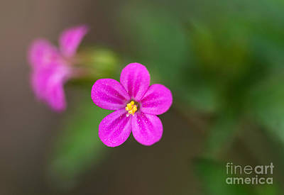 Pink And Yellow Flowers With Green Blurry Background Poster by Jaroslaw Blaminsky