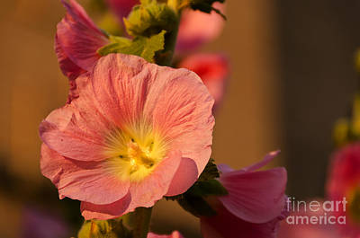 Pink And Yellow Hollyhock Poster by Sue Smith