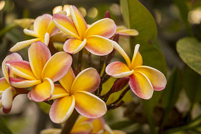 Pink And Yellow Plumeria 2 Poster by Brian Harig