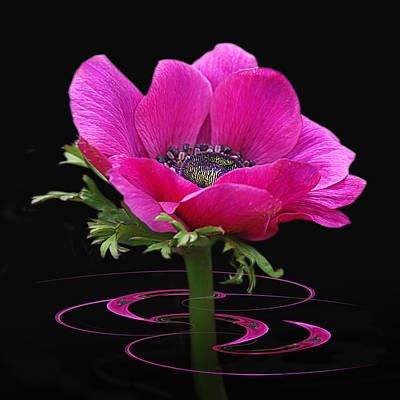 Pink Anemone Whirl Poster