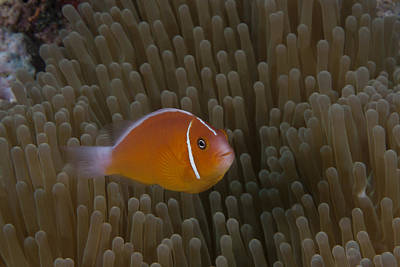Pink Anemonefish In Its Host Anenome Poster by Terry Moore