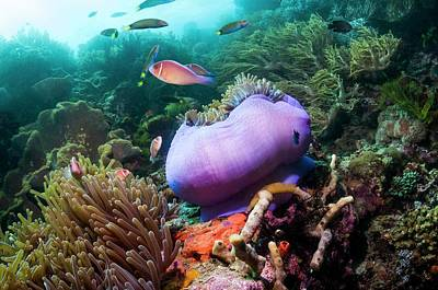 Pink Anemonefish With Magnificent Anemone Poster by Georgette Douwma